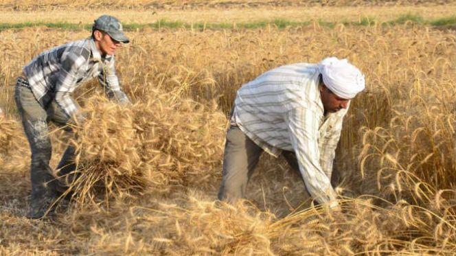 حصاد الحبوب