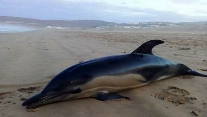 بحر أكادير يلفظ دلفينا ضخما