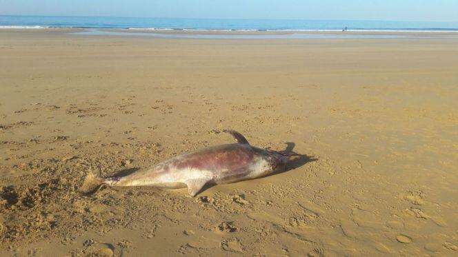 دلفين مجروح بأكادير