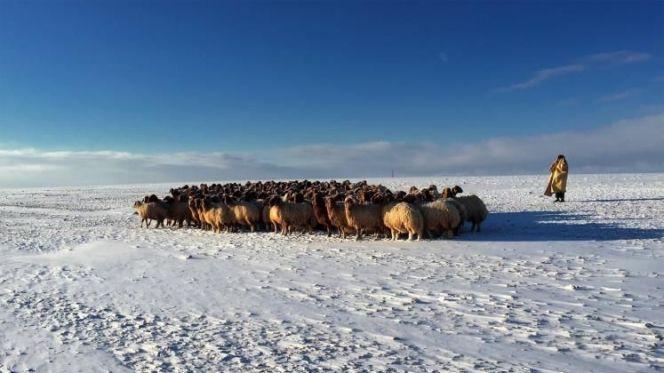 ماشية ثلوج