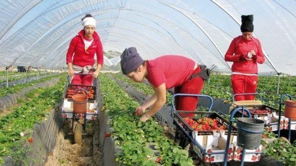 حقول فراولة