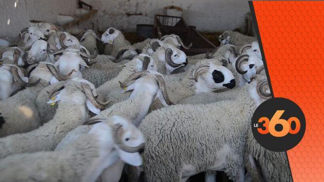 cover vidéo:Le360.ma •كيف تختار خروف العيد المناسب للذبح