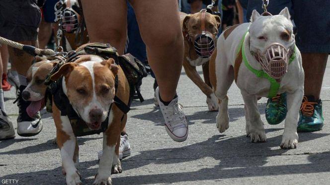 كلاب كلب بيتبول