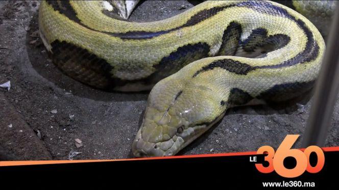غلاف فيديو - افتتاح مغارة الثعابين الأكبر على كوكب الأرض بأكادير