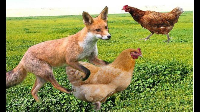 دجاج وثعلب