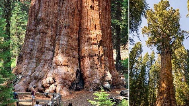 شجرة الجنرال شيرمان أكبر شجرة في العالم