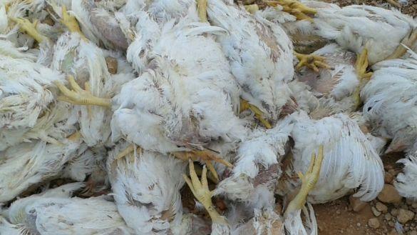 دجاج نافق بتيزنيت  3