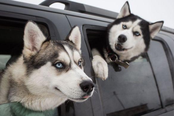 كلاب الهاسكي