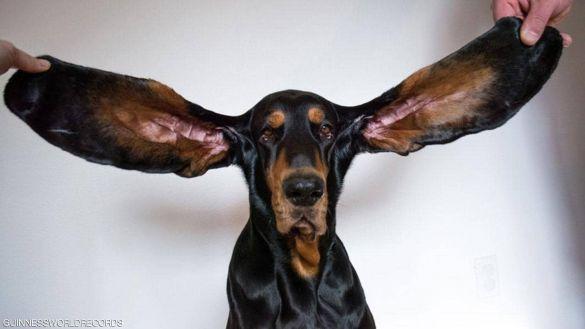 كلب طويل اذنين
