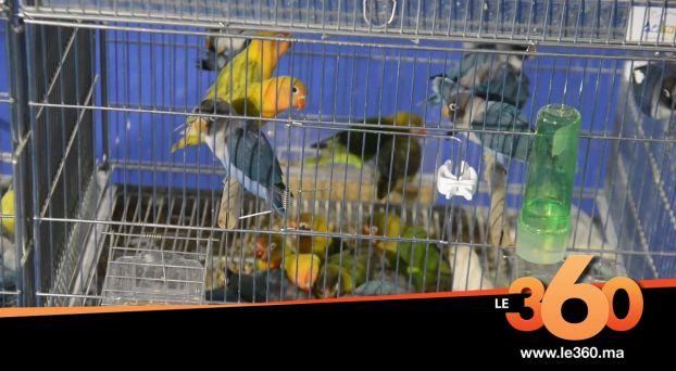 cover vidéo:Le360.ma •هذه أهم أنواع الطيور التي يتم تهريبها من المغرب