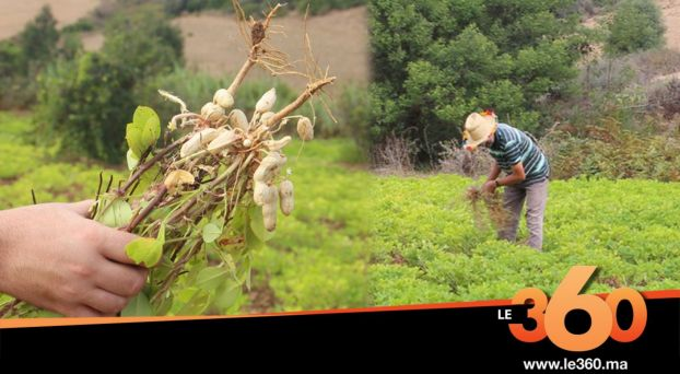 "Cover_Vidéo: اكتشفوا كواليس حصاد ""الكاوكاو"" بضواحي العرائش"