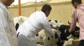 تلقيح أبقار