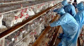 أنفلونزا الدجاج
