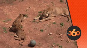 cover Video -Le360.ma • ولادة أشبال بحديقة الحيوانات بالرباط