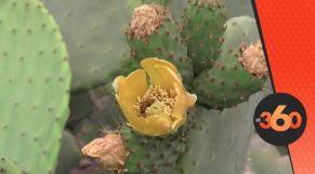 غلاف فيديو - الحشرة القرمزية تغزو الذهب الأخضر بآيت باعمران