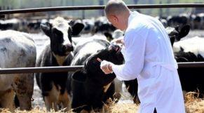 حمى قلاعية أبقار