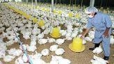 ضيعة دجاج
