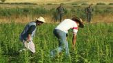 زراعة القنب الهندي بالمغرب