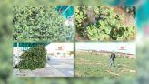 Cover Video -Le360.ma •بالفيديو. النعناع التيزنيتي معطر كؤوس الشاي المغربي