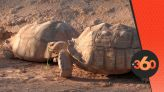 cover Video - Le360.ma • صبارات وسلاحف عملاقة تصل مدينة أكادير