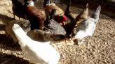 فضلات الدجاج