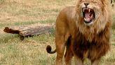 أسد يهاجم