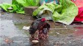 دجاجة تحمي صغارها من المطر بجناحيها
