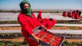 عاملات في حقول الفراولة