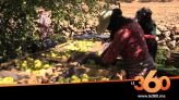 "Cover_Vidéo: محاصيل التفاح بجهة فاس تضررت بسبب كورونا و""التبروري"""
