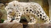 نمر ثلجي