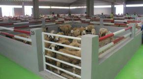 سوق الماشية بالعيون