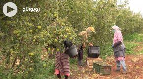 Cover_Vidéo: انطلاق موسم جني التفاح بإقليم صفرو وسط توقع إنتاج 90 ألف طن