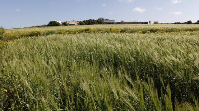 Blé - Agriculture - Champ de blé
