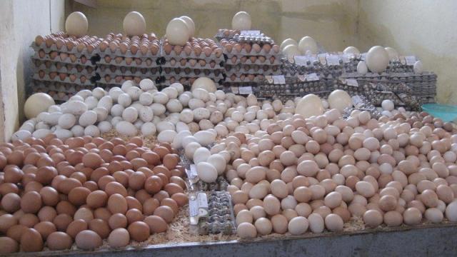 œufs de consommation