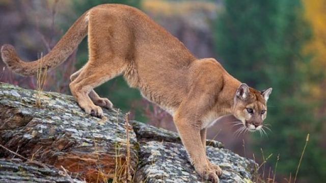 puma court attaque