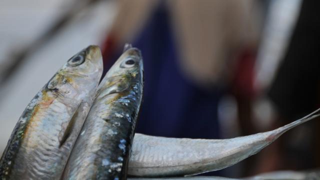 Sardine pêche halieutis