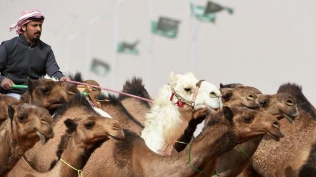 Concours chameaux