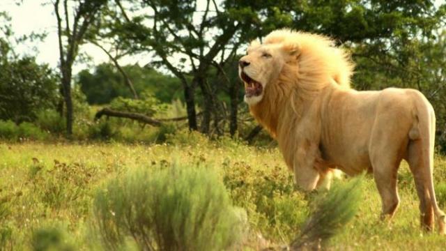 Afrique du sud: un malheureux braconnier au menu des lions