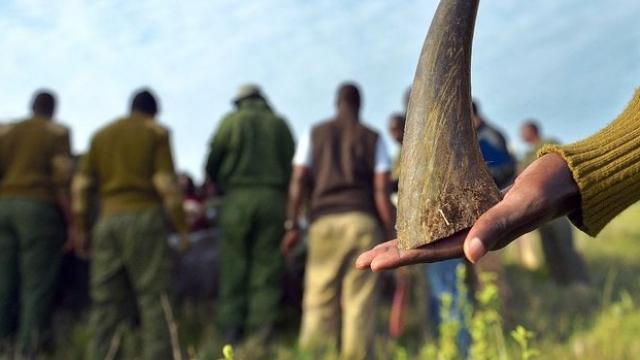 Corne rhinocéros