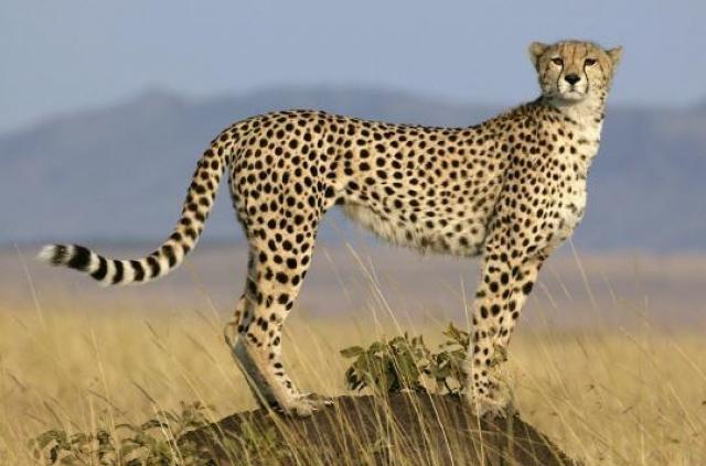 guépard maroc