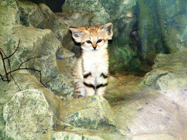 le chat de sables