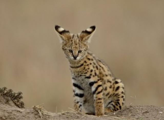 serval maroc