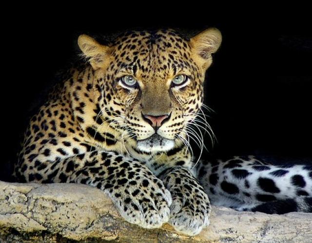 léopard maroc