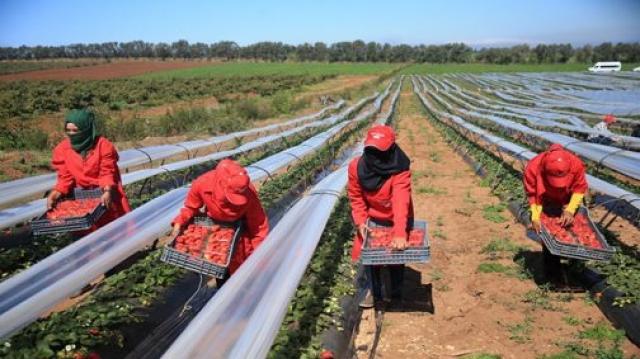 Des saisonnières marocaines dans les champs de Huelva