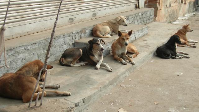 """Résultat de recherche d'images pour """"chiens errant maroc"""""""
