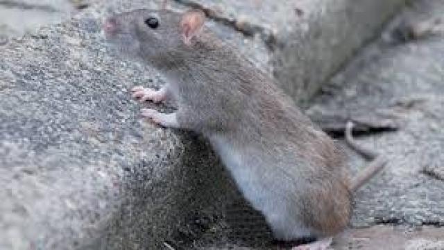Rats Casablanca