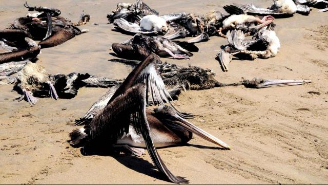 Pélicans morts