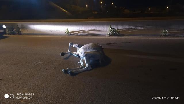 Accident dromadaires
