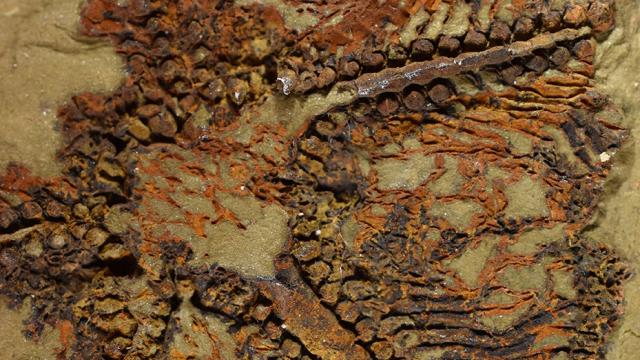Etoile de mer fossile