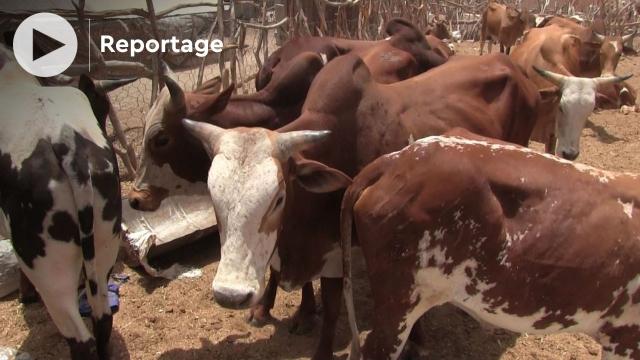 Vidéo. Mauritanie: un tour au marché de boeufs et chameaux de Nouakchott